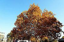 秋天金黄色的茂密大树树冠