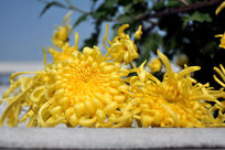 秋天里的金黄菊花