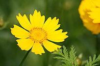 盛开的黄色的野花