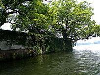 西湖岸边大树