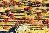 代钦塔拉五角枫秋景