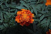 红颜花朵摄影图片
