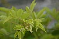 夏天树枝的嫩叶