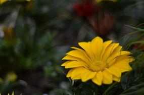盛开黄色的菊花