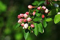 野生植物 山荆子花蕾