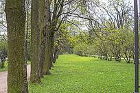 一排笔直的大树和绿油油的草地