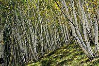 白华树林背景实拍