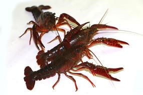 高清新鲜龙虾图片