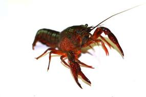 龙虾头部图片