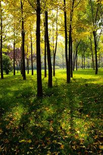 秋天金色的银杏树林中阳光洒了一地
