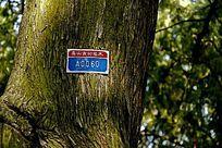 泰山古树名木粗壮树干