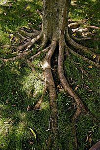 扎根大地的树干和树根