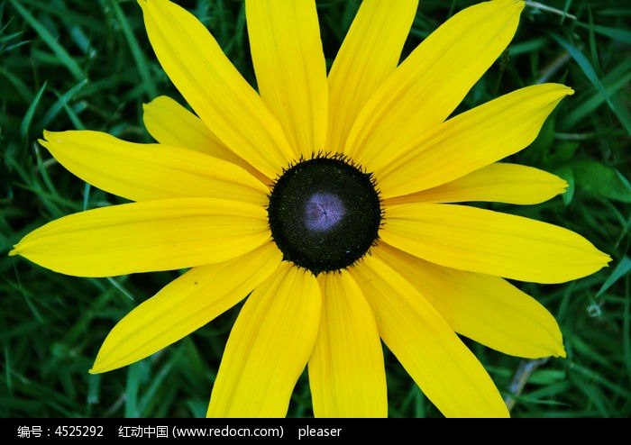 黑心菊的叶子图片图片
