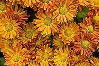金黄色的野菊花花丛