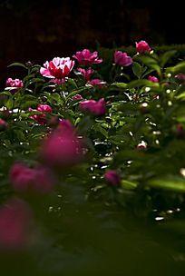 弱光下的牡丹花园