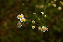 一枝白色野菊花