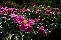 紫色牡丹园内的牡丹花圃