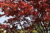 长满红叶子的树