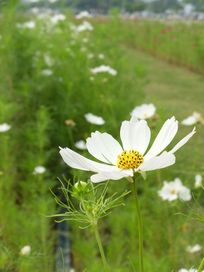 台湾高雄公园草丛里大片的白色波斯菊