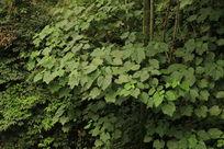 竹林下的灌木丛
