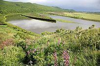 额尔古纳河鲜花盛开