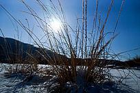 骄阳照射着雪后的杂草丛