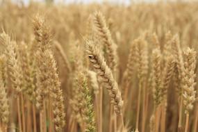 饱满的麦粒