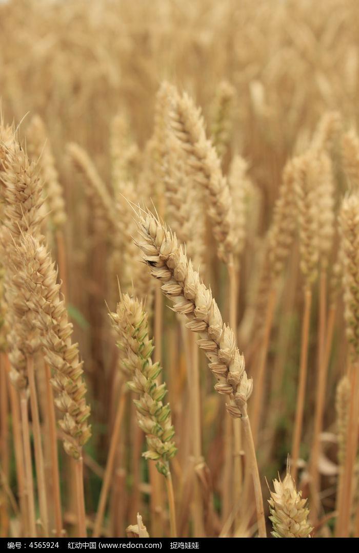成熟的麦粒图片