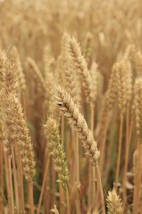 成熟的麦粒