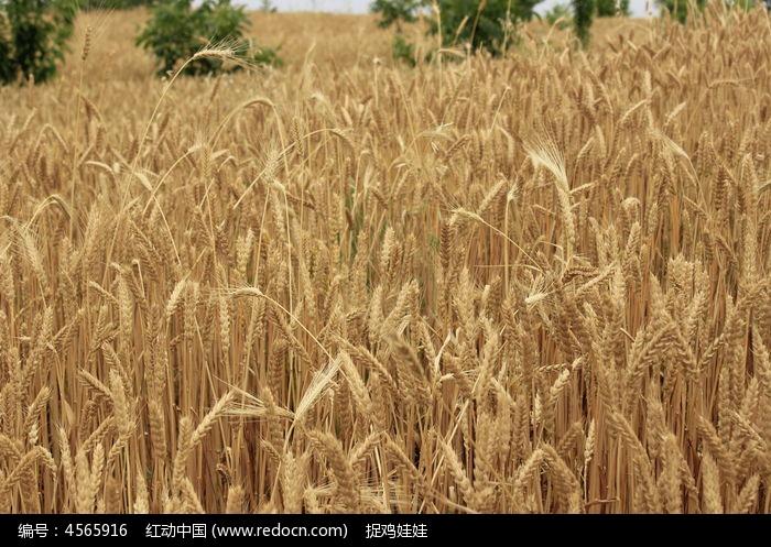 成熟的小麦图片