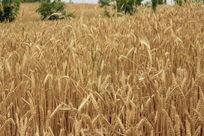 成熟的小麦