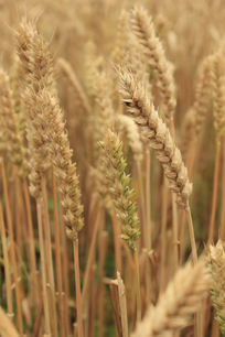 丰收的麦穗
