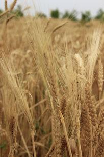 丰收的小麦