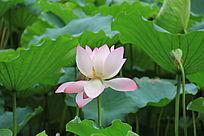 绿叶间的粉色荷花