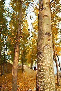 秋天的杨树