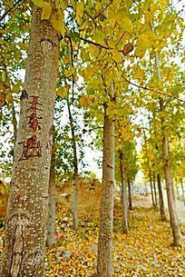 秋天的杨树林