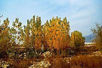 秋天的杨树林风光
