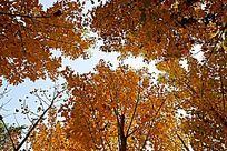 秋天的杨树林色彩