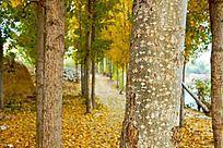 秋天的杨树林树干