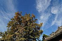 蓝天下的岱庙古建和古银杏树