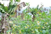 香蕉树和花