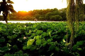 夕阳下的西湖荷花