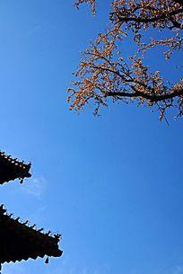 蓝天下的古建房檐和银杏树枝叶