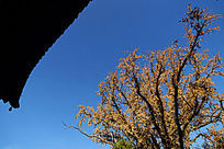 蓝天下的古建挑檐剪影和金黄色的银杏树枝叶