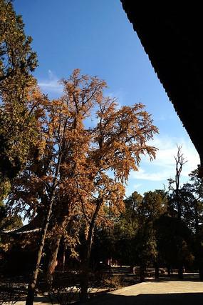 泰山岱庙内的古树银杏