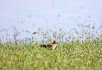 乌兰泡野生鸟类