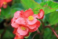 一簇红色小花朵