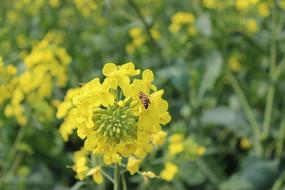 油菜花上的蜜蜂