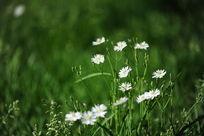 草丛间的一组小白花