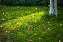 红叶阳光绿色草坪